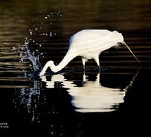 Ardea Alba - Great White Egret Catching Fish In Porpoise Channel | Stony Brook, New York by © Sophie W. Smith