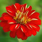 Zinnia by Rainy