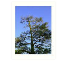 Cedar Against Blue Sky Art Print