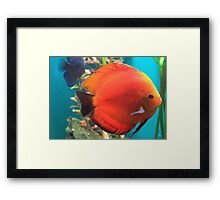 Adorable Discus Framed Print