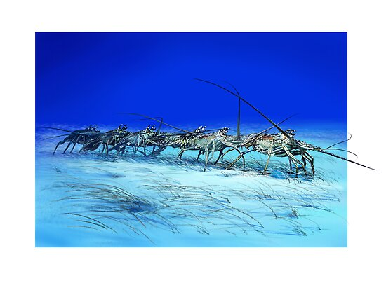 CARIBBEAN SPINY LOBSTER / Panulirus argus by DilettantO