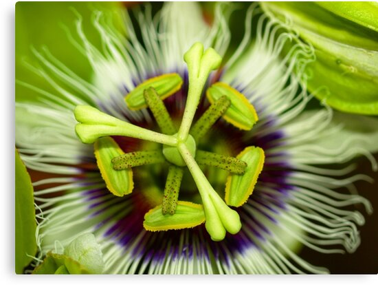Passion Flower by Jason Dymock Photography