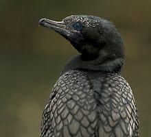 Black Cormorant by SusanAdey