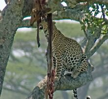 Serengeti Leopard Kill, Tanzania, Africa by Adrian Paul