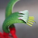 Kangaroo Paw Macro by Coloursofnature
