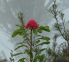 Wild Waratah shrouded in the mist by STEPHEN GEORGIOU PHOTOGRAPHY