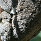 Currumbin Baby Koala by Stephen Mitchell