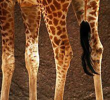 Giraffe Legs by Stephen Mitchell
