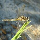 Blue Dasher on Native Grass by May Lattanzio