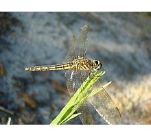 Blue Dasher on Native Grass Photographic Print
