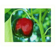 red green pepper Art Print