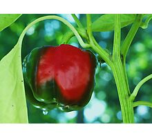 red green pepper Photographic Print