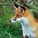 Vixen Alert   (Red Fox) by ©FoxfireGallery / FloorOne Photography