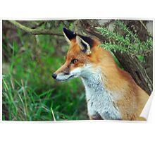 Vixen Alert   (Red Fox) Poster