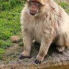 Barbary Macaque by Anne-Marie Bokslag