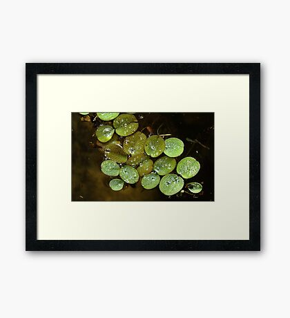 Water Spangles (Salvinia) After the Rain Framed Print