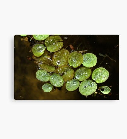 Water Spangles (Salvinia) After the Rain Canvas Print