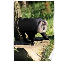 Lion-tailed Macaque Poster