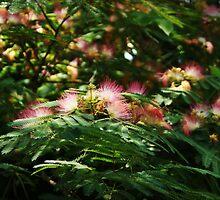 Mimosa Blooms by Linda Yates