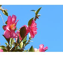 Pink Flowers in Sky Photographic Print