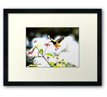 Honey eater in flight Framed Print