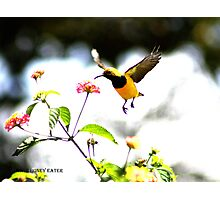 Honey eater in flight Photographic Print