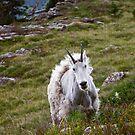 Mountain Goat Molting by Gene  Tewksbury