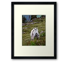 Mountain Goat Molting Framed Print