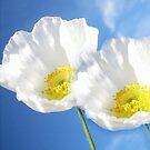 Wild series;Poppy  white flower VI !... by sendao