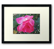Bubblegum Pink Rose Framed Print