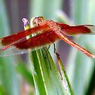 Dragonfly by Sheldon Pettit