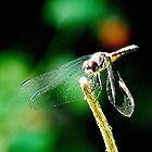Red-eye dragonfly by ceyet