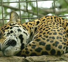 Sleeping Jaguar by kellimays