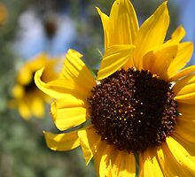 Waving Sunflower by Alyce Taylor