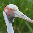 Australian Brolga, Queensland, Australia by Adrian Paul