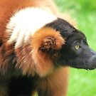 Red Ruffed Lemur (Varecia rubra) by DutchLumix