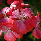 Geraniums Kissed by Joy Watson