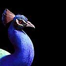 Peacock by tracyleephoto
