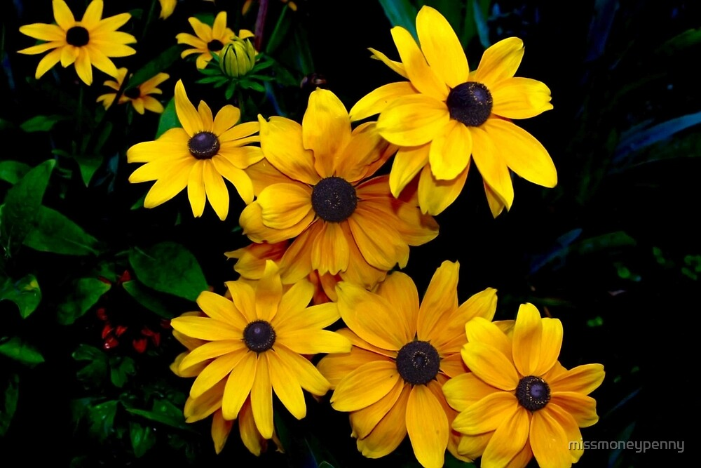 Pretty Little Black-eyed Susan by missmoneypenny