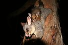 Another possum baby by Denzil