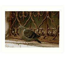 Italian Pigeon, Shamelessly Flirting With Me! (Note The Look Of Love In His Sweet Little Eyes...) Art Print