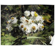 Pearly Everlasting- Anaphalis margaritacea Poster