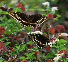Dance of the Swallowtails II by oldgoatsphoto