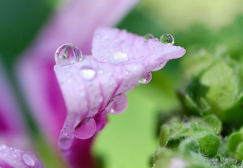 Peppermint Dew Drop  by Elaine  Manley