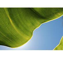 Elephant ear leaf on blue sky Photographic Print