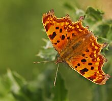 Comma On Thistle by Robert Abraham