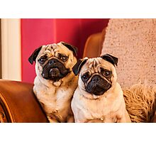 Two lovely pugs Photographic Print