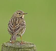 Meadow Pipit - III (Anthus pratensis) by Peter Wiggerman