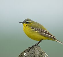 Yellow Wagtail (Motacilla flava) by Peter Wiggerman