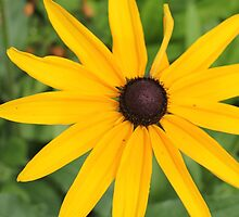 Black Eye Susan Flower by CapeCodGiftShop